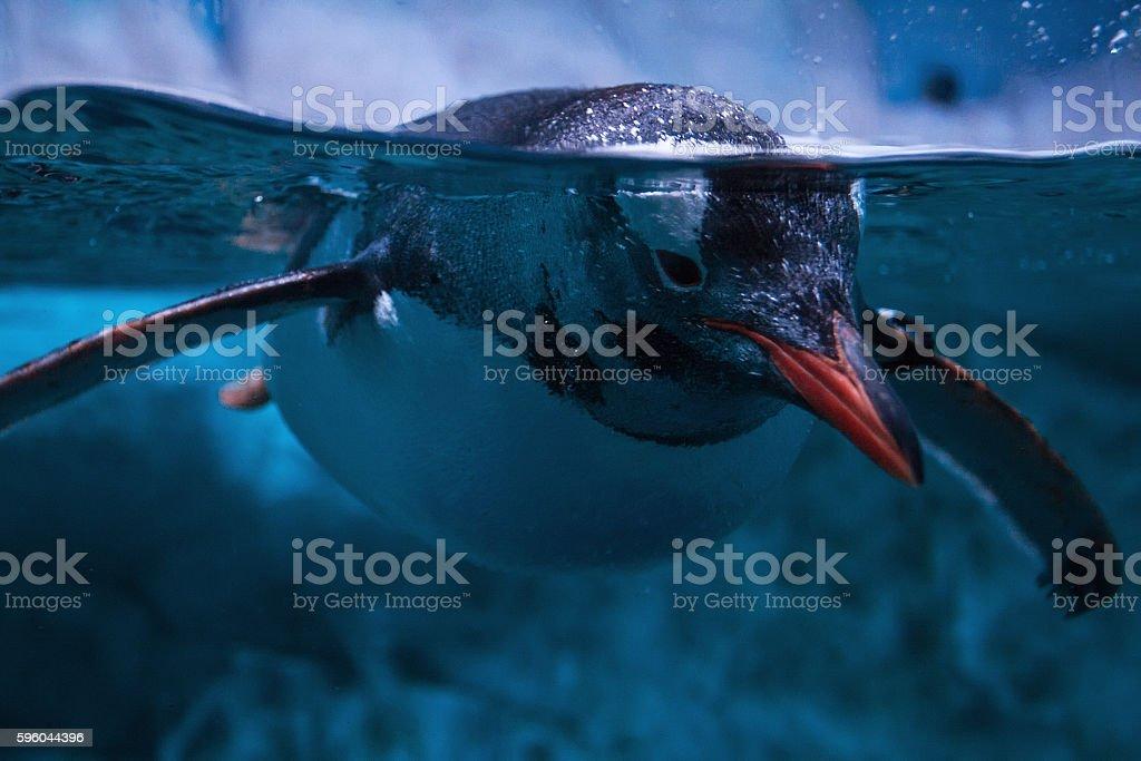 Penguin floating underwater stock photo