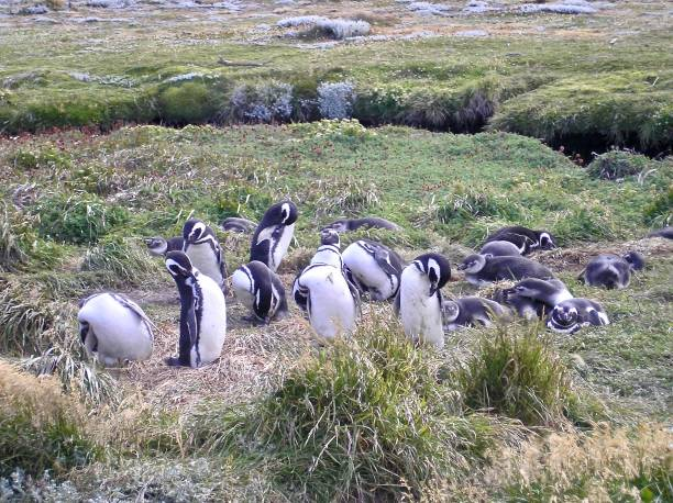 penguin gathering - mcdermp stock pictures, royalty-free photos & images