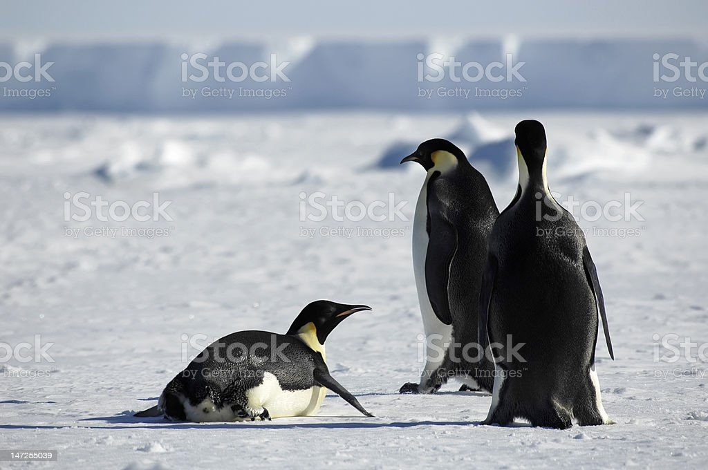 Penguin group in Antarctica royalty-free stock photo