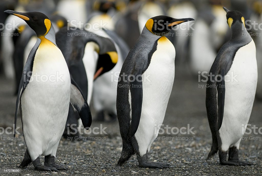 Penguin Guards stock photo