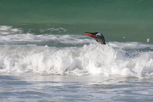 Penguin in the Water stock photo