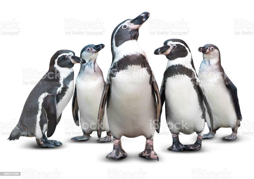 Penguin isolated stock photo