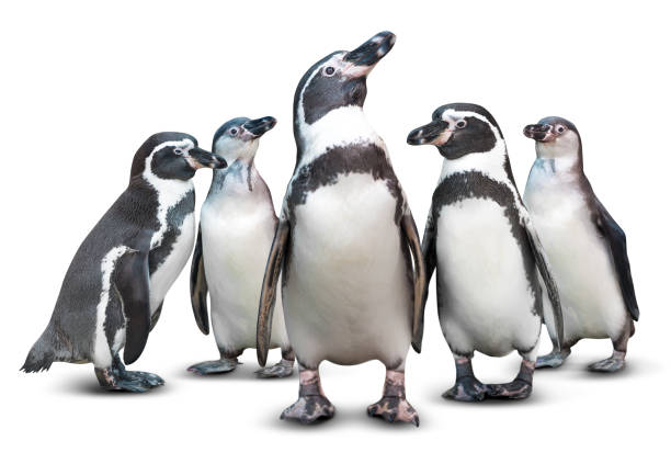 Penguin isolated Group of cute penguin isolated on white background emperor penguin stock pictures, royalty-free photos & images