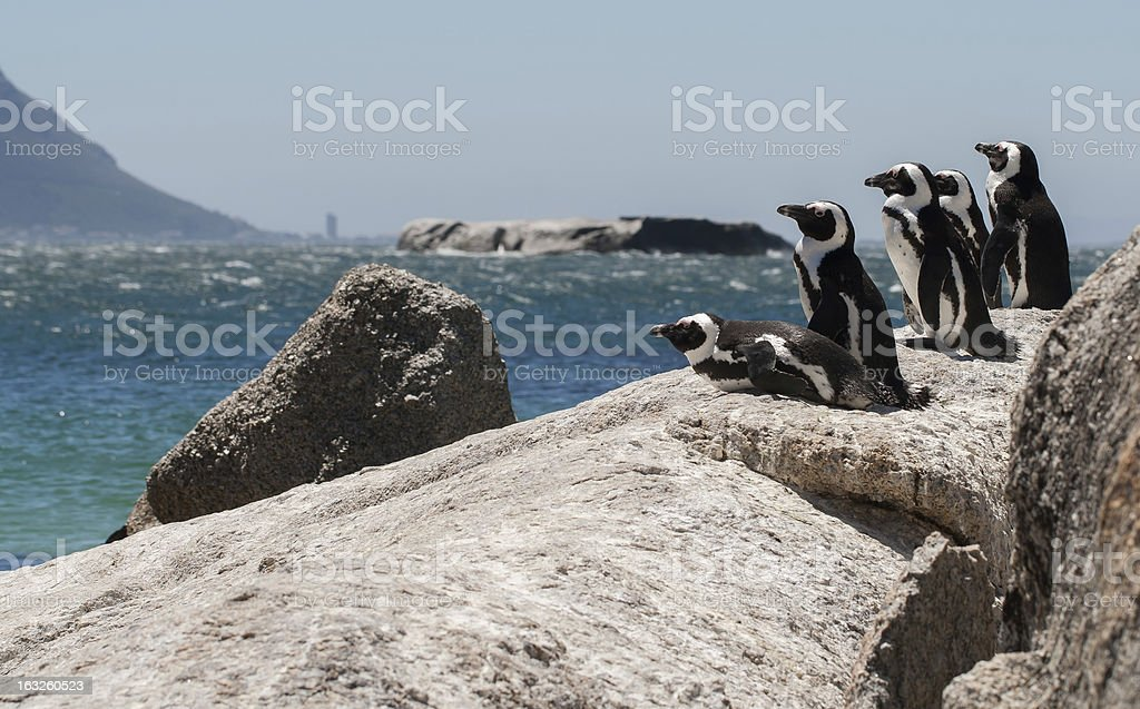 Penguin Lookout royalty-free stock photo