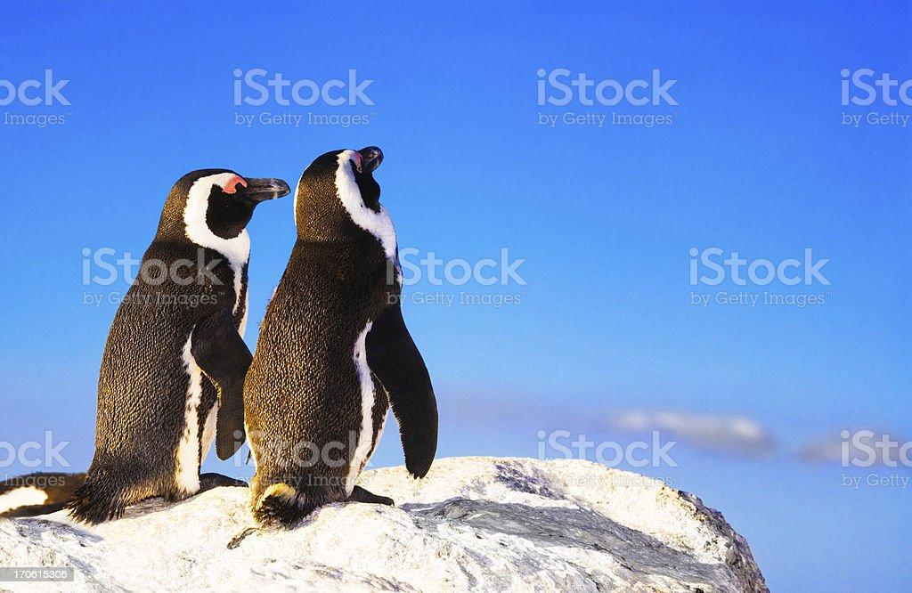 Penguin lurve royalty-free stock photo