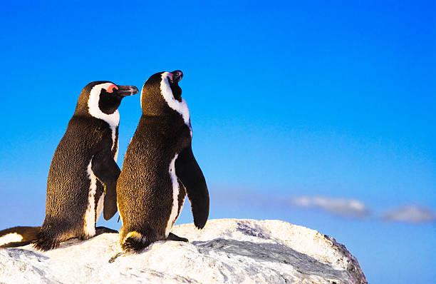 Pingouin lurve - Photo