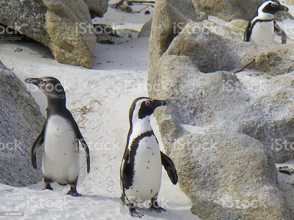 Penguin MPA (Marine Protected Area) near Simonstown ZA royalty-free stock photo