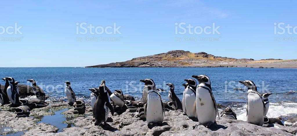 Penguin of Magellan stock photo