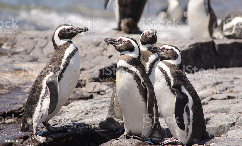 Penguin of Magellan stock photo