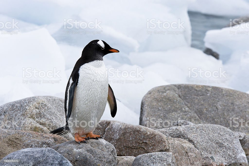 Penguin on Icy Rocks royalty-free stock photo