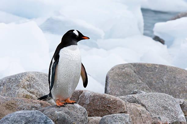 Penguin on Icy Rocks stock photo