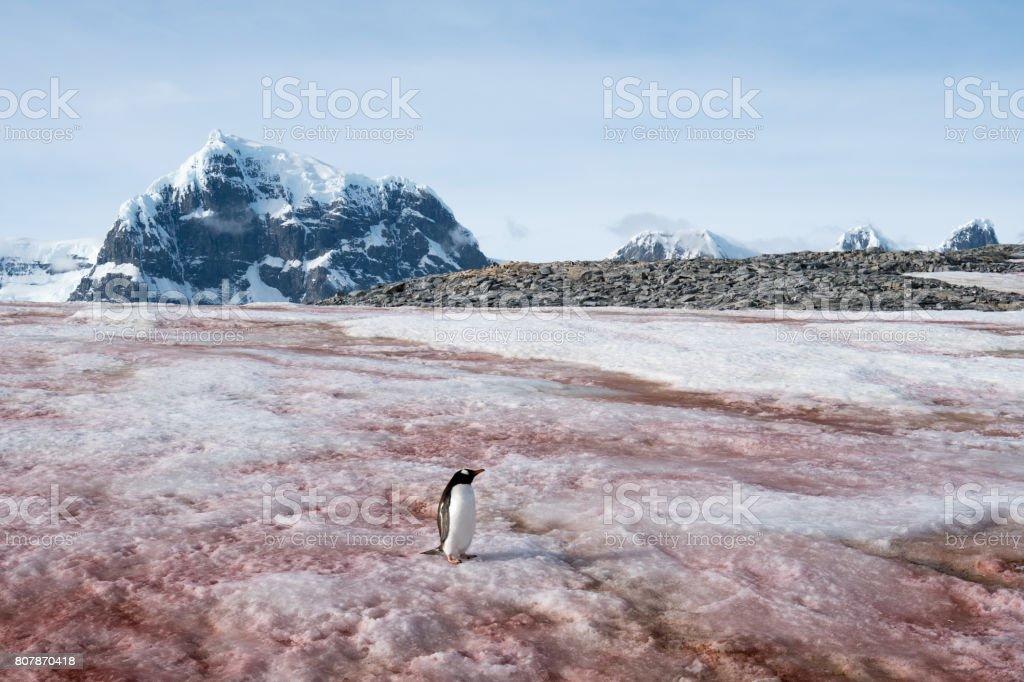 Eis-Pinguin auf Schnee Algen – Foto