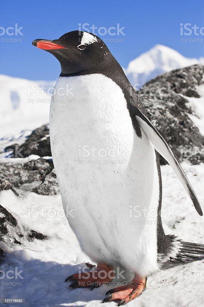 penguin on the rocks royalty-free stock photo