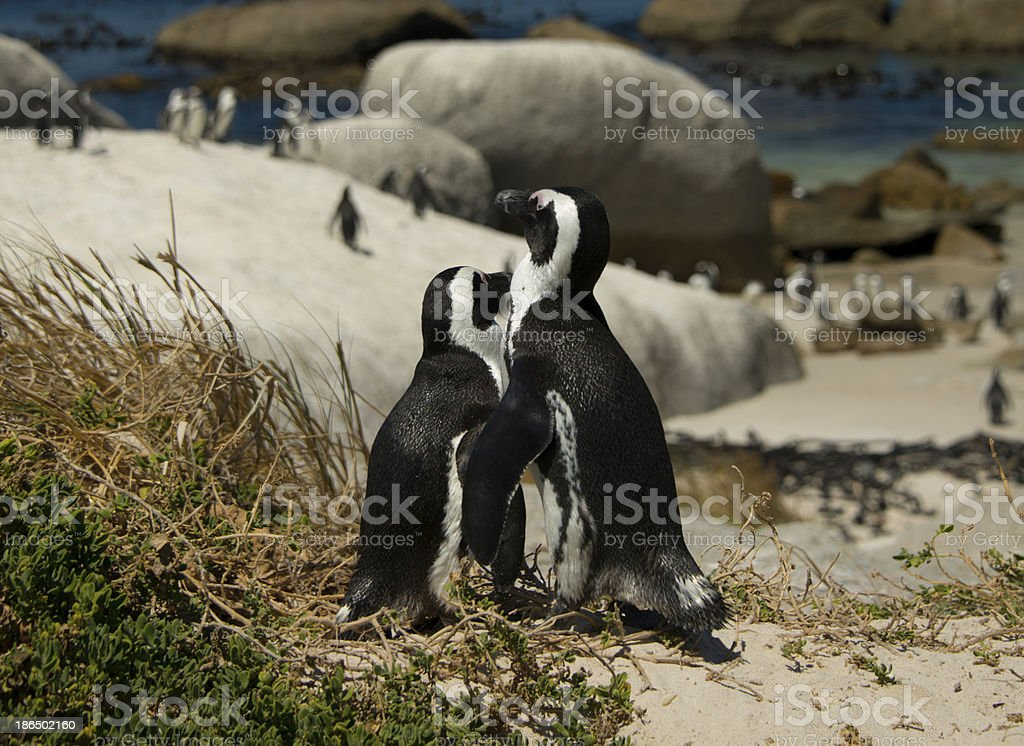penguin pair 1 royalty-free stock photo