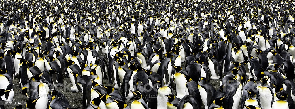 Penguin Panoramic royalty-free stock photo