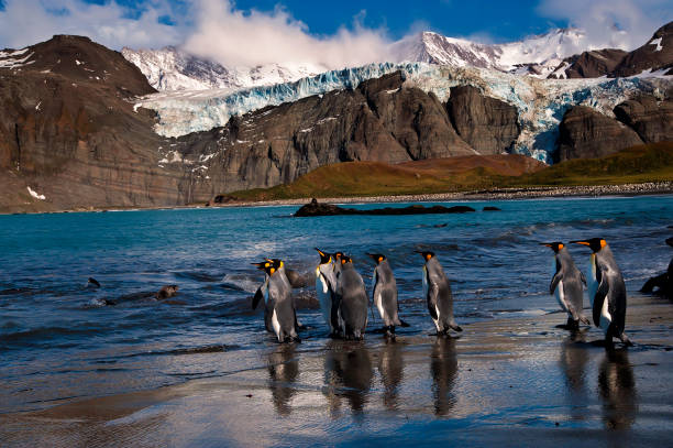 penguin paradise king penguins gather on the shores of south georgia south georgia island stock pictures, royalty-free photos & images