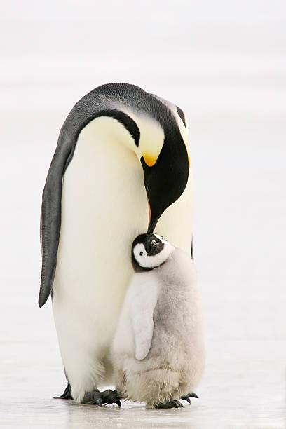 Penguin Peck Adult Emperor penguin preening a chick. Antarctica. emperor penguin stock pictures, royalty-free photos & images
