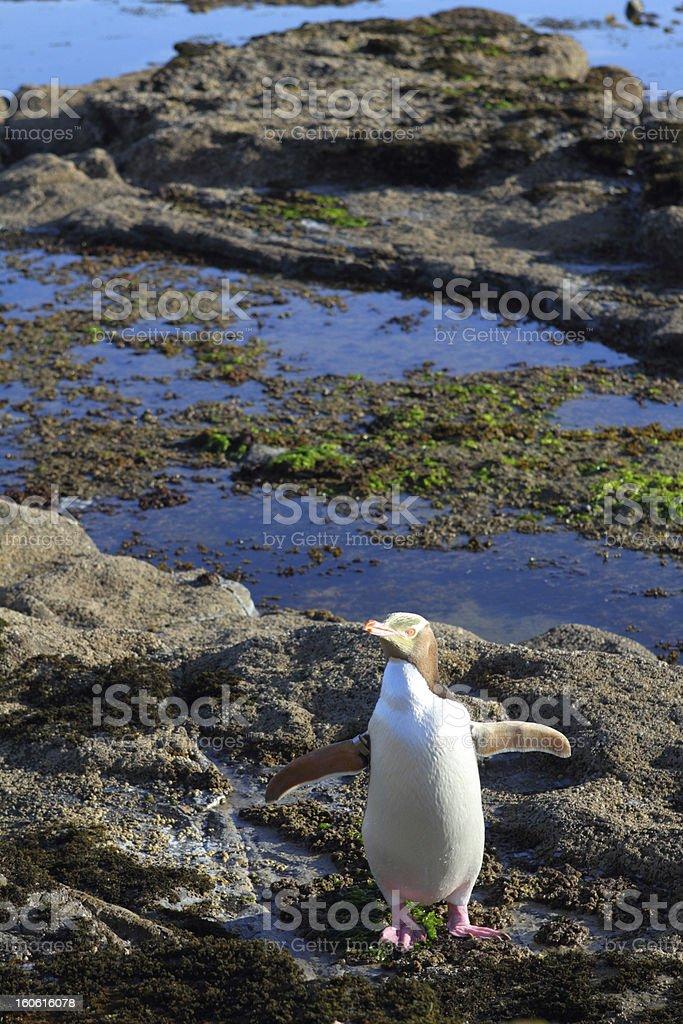 Penguin royalty-free stock photo