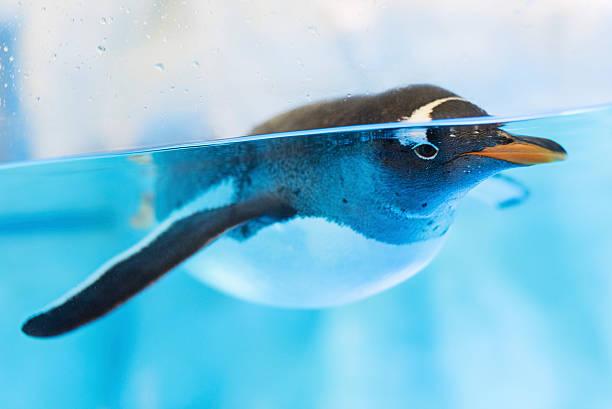 penguin - pinguins swimming stockfoto's en -beelden