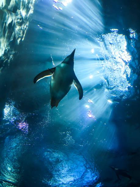 pinguïn - pinguins swimming stockfoto's en -beelden