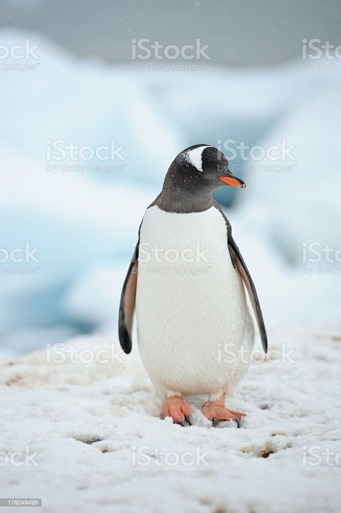 Penguin portrait royalty-free stock photo