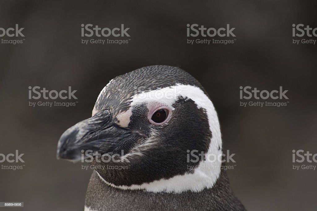 Pinguin-Porträt Lizenzfreies stock-foto