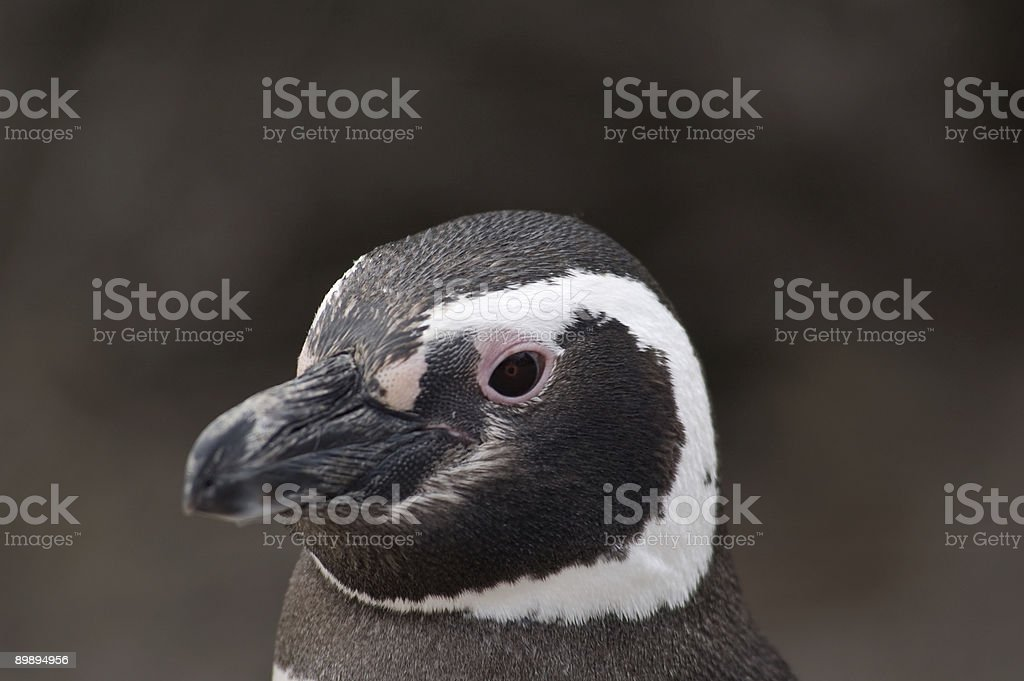 Penguin Portrait stock photo