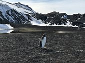 Penguin with wings open on a volcanic beach and snow covered mountains