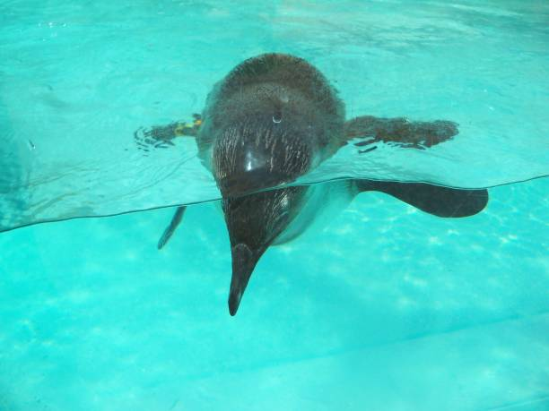Penguin swimming in blue water stock photo