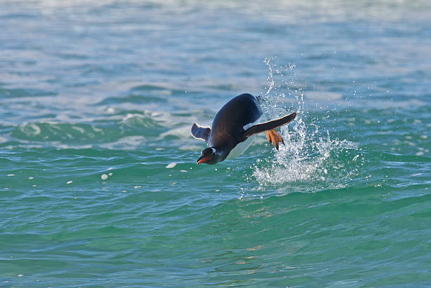 Penguin Swimming in the Ocean stock photo