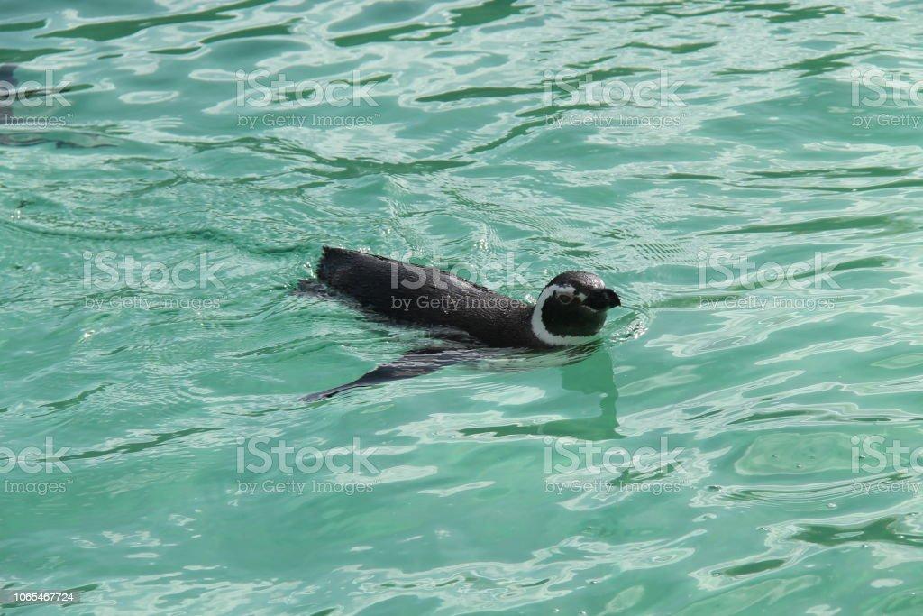 Natação do pinguim. - foto de acervo