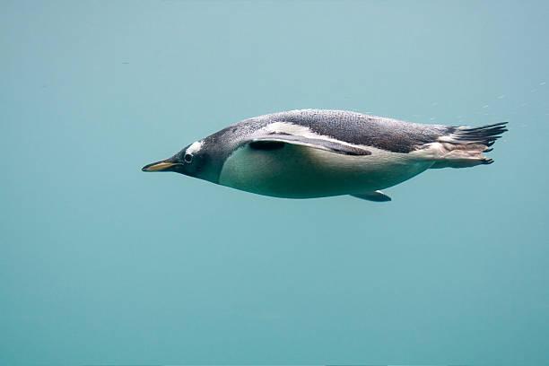penguin swimming under water - pinguins swimming stockfoto's en -beelden