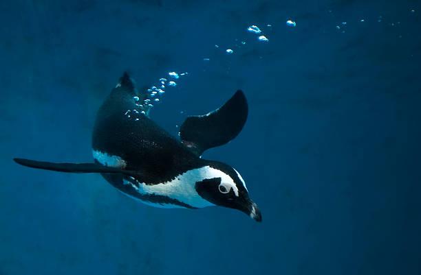 penguin swimming underwater in blue water - pinguins swimming stockfoto's en -beelden