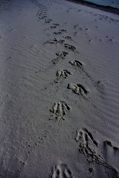 pinguïn tracks op berthas beach - port stanley falkland islands stockfoto's en -beelden