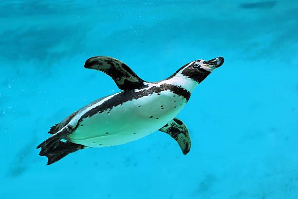 penguin under water - pinguins swimming stockfoto's en -beelden