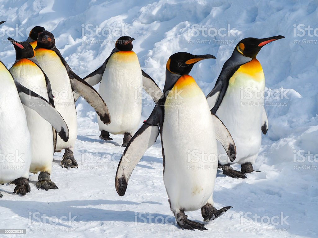 penguin walk on snow stock photo