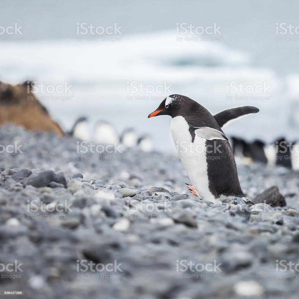 Penguin walk on the islands stock photo