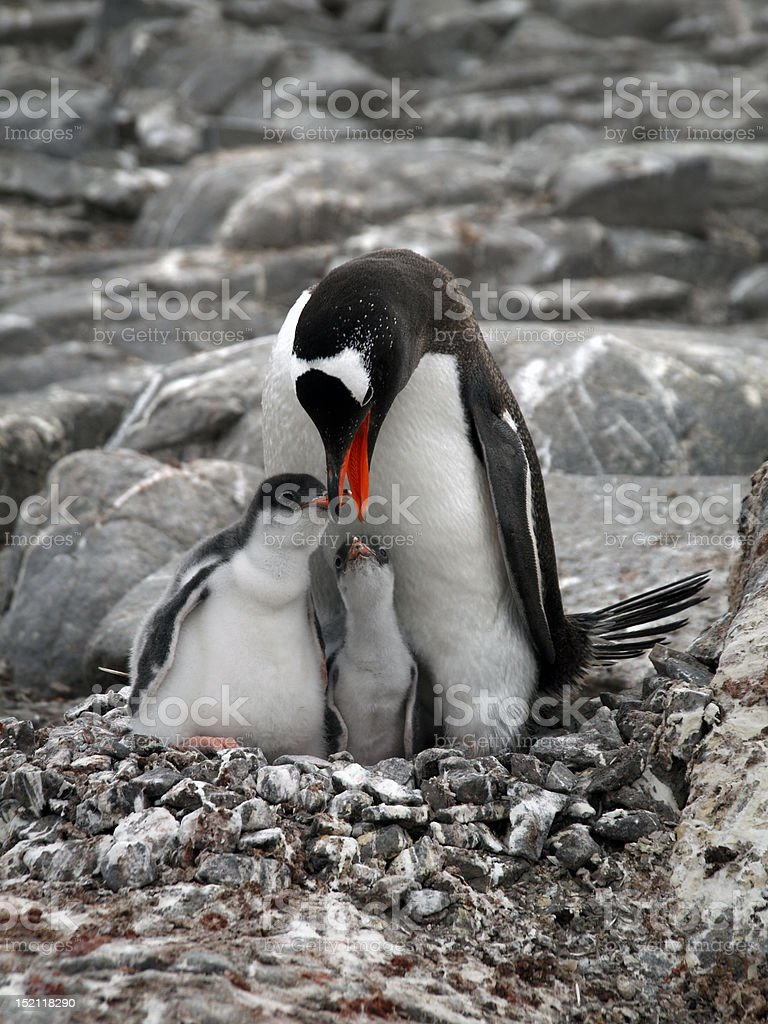 Penguin with Babies royalty-free stock photo