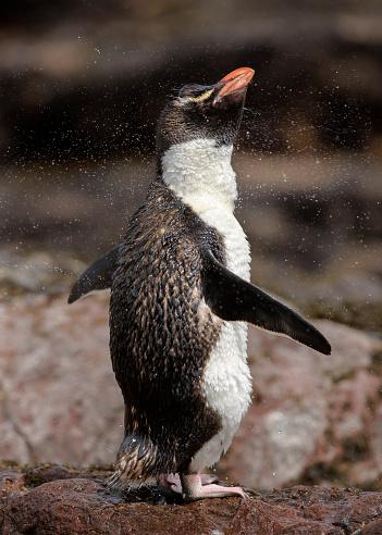 Penguin Yellow Tuft