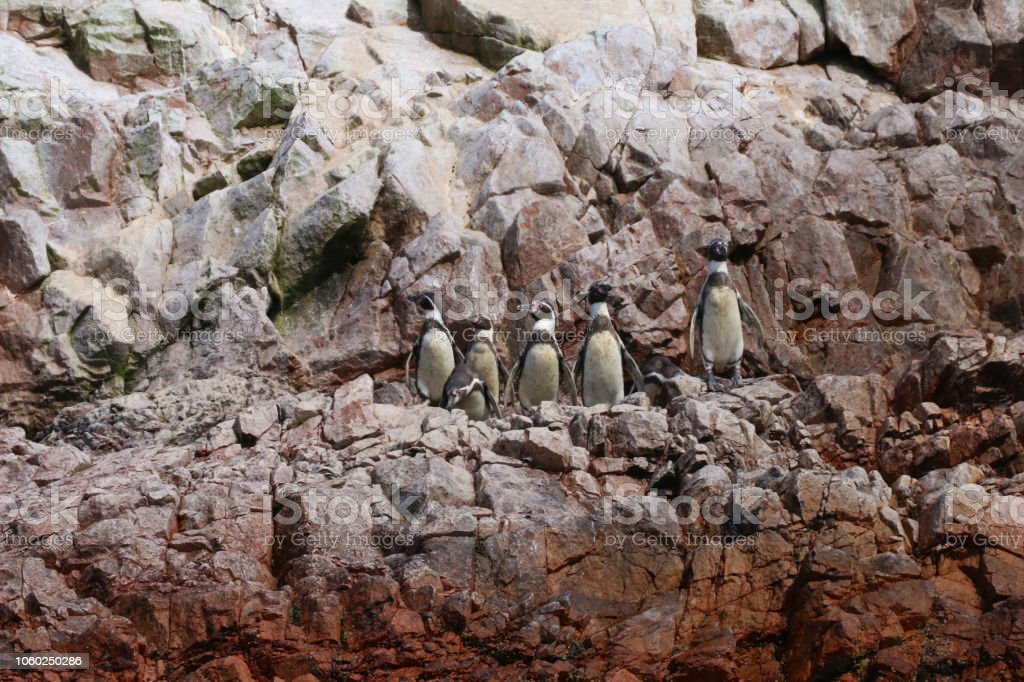 penguings da rocha, Ilhas ballestas - foto de acervo