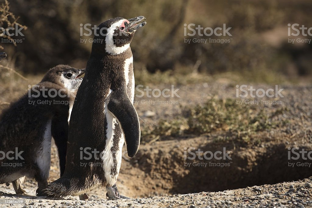Penguins and Nest stock photo