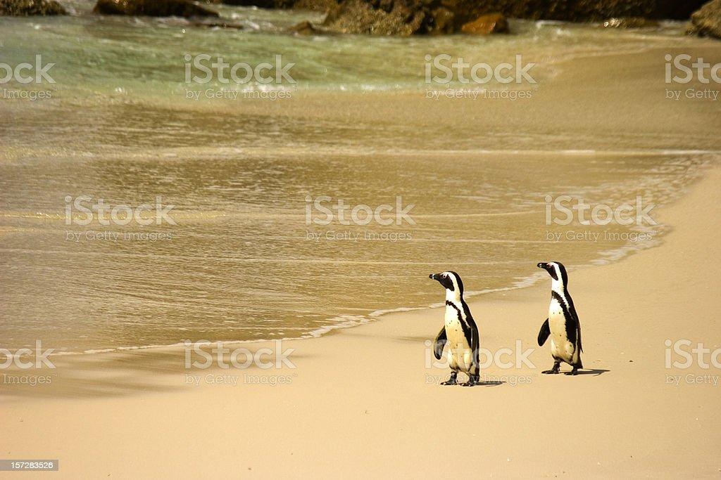Penguins at Boulders Beach stock photo