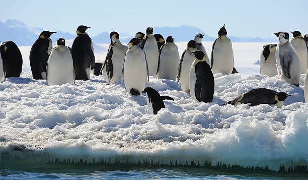 Penguins at ice edge Penguins on sea ice, Cape Washington, Antarctica emperor penguin stock pictures, royalty-free photos & images