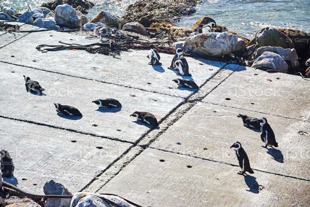 Penguins colony in stony point nature reserve betty's bay Boland Mountain Complex, Western Cape - Royalty-free Africa Stock Photo