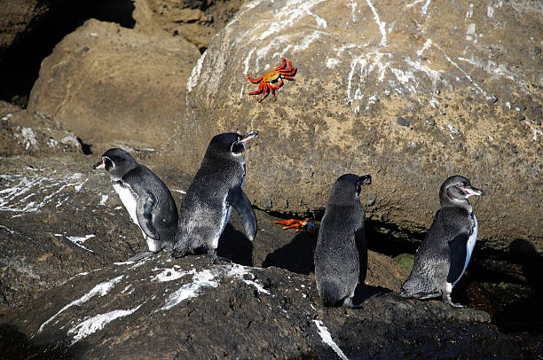 Pingouins & crabes - Photo