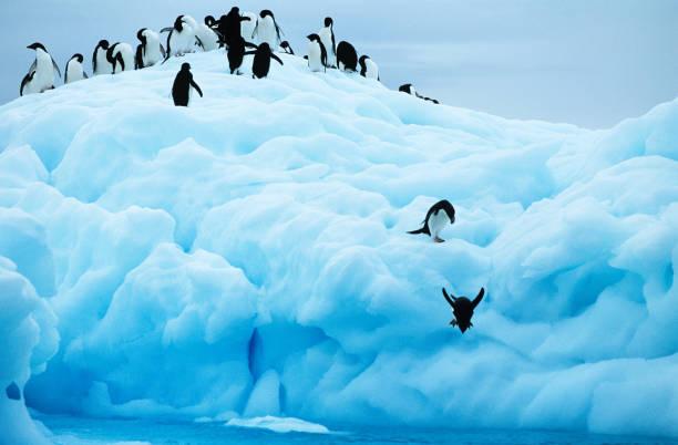 Penguins diving off glacier into sea stock photo