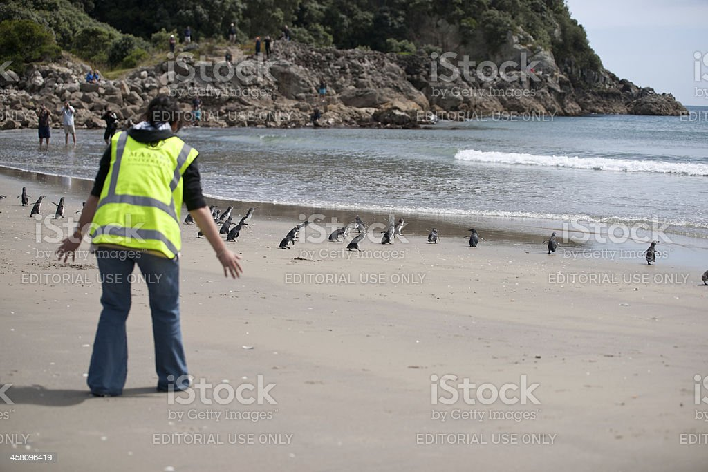 Penguins headfor the sea stock photo