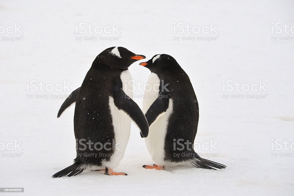 Penguins Hold Hands stock photo