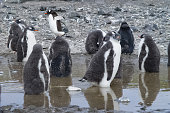 Penguins in Antarctica, waterfowl penguin in nature