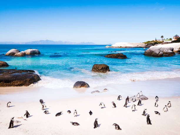 penguins in cape town - cape peninsula stock pictures, royalty-free photos & images